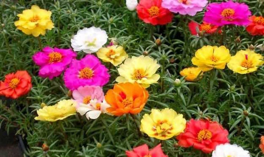những bông hoa mười giờ khoe sắc đẹp