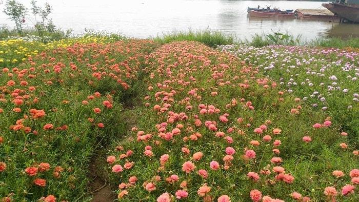 hoa mười giờ trồng bên cạnh sông