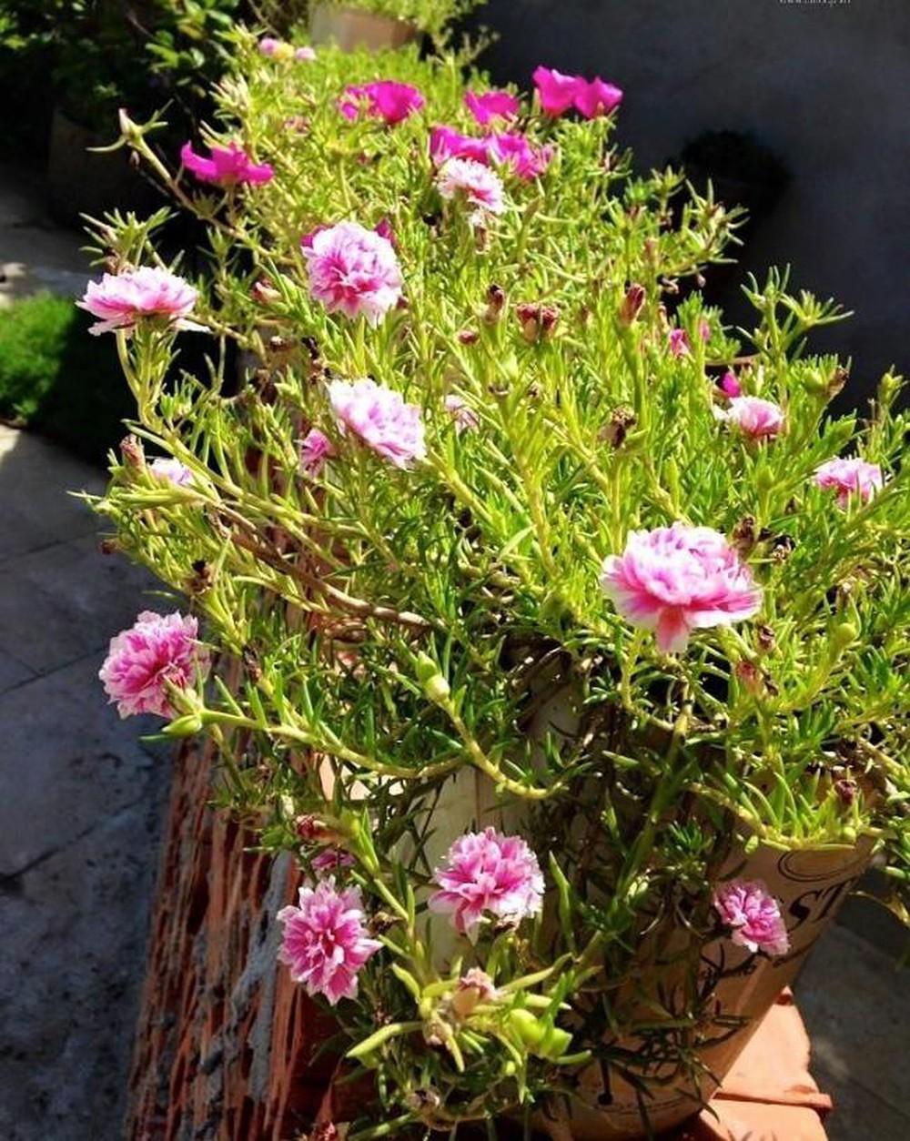 ngắn nhìn những bông hoa mười giờ đẹp