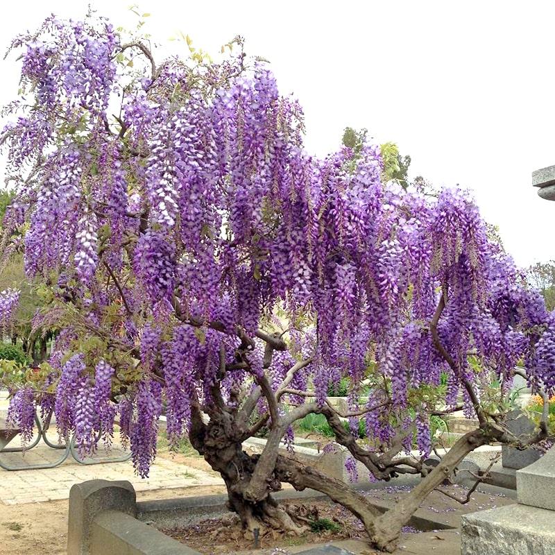 vẻ đẹp của những bông hoa tử đằng