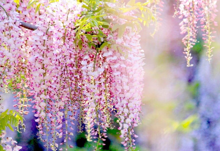 hoa tử đằng màu trắng hồng đep nhất