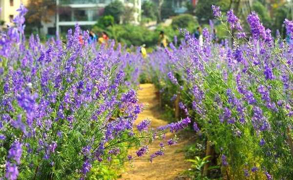 lối đi vào nhà vườn trồng hoa violet