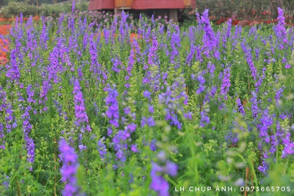 khu vườn hoaviloet trong mơ của nhiều người