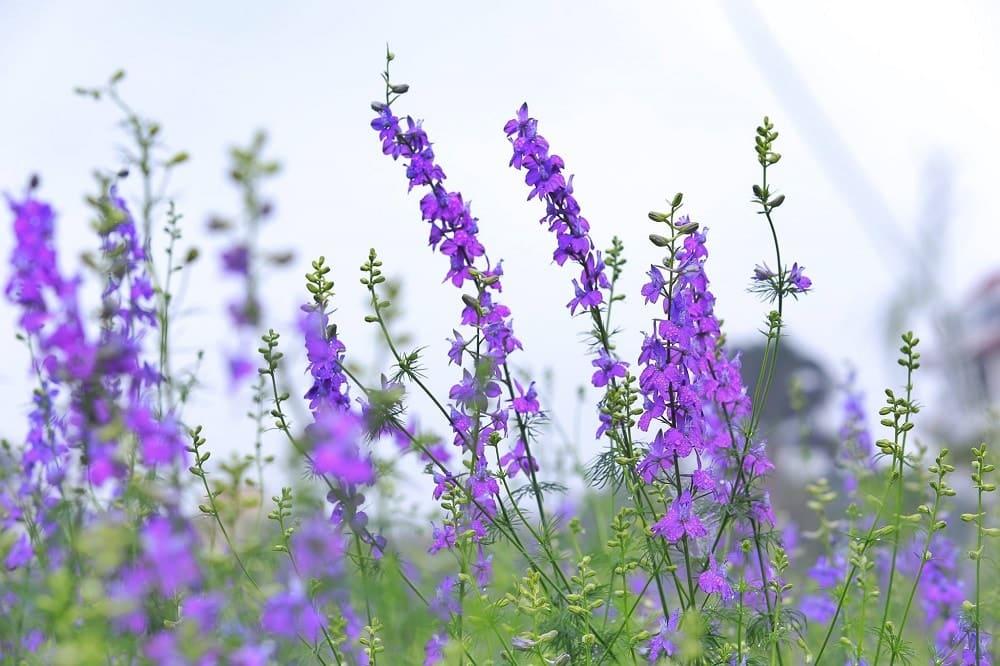 hoa violet mang vẻ đẹp riêng