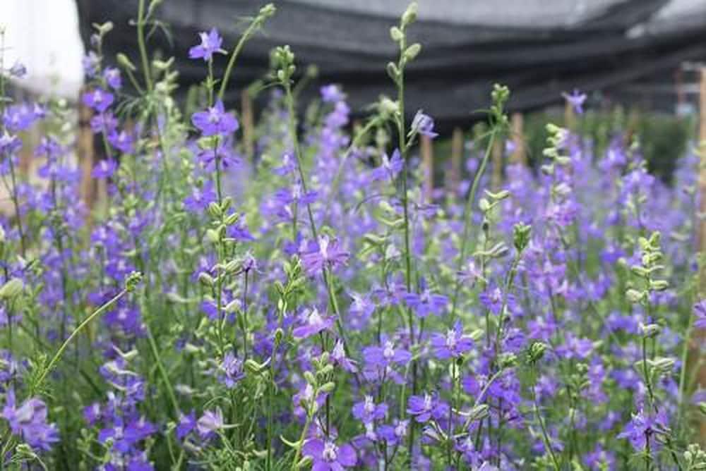 ngắn nhìn những bông hoa violet màu tim