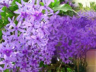 cay hoa mai xanh 5 min