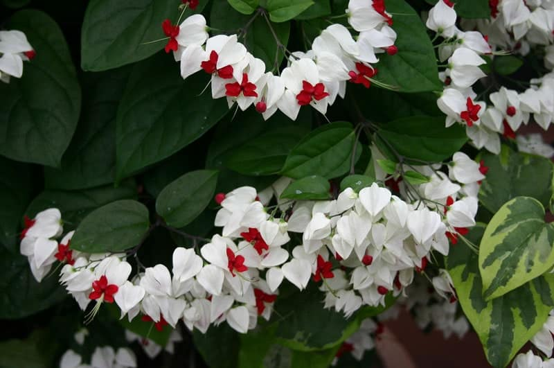 cách chăm sóc cây Hoa ngọc nữ tuyệt đẹp ngắm mãi