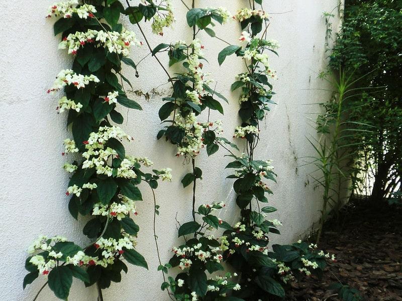 cây Hoa ngọc nữ leo tường