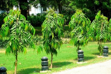 cây hoàng nam phát triển trong sân vườn đẹp