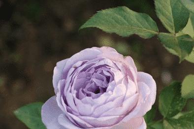 Kỹ thuật trồng cây hoa hồng bụi Thạch lam