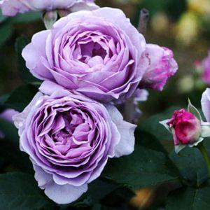 Kỹ thuật trồng cây hoa hồng bụi Thạch lam ấn tượng, vẻ đẹp quyễn rũ