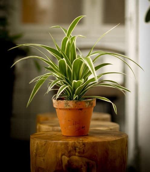 Chăm sóc cây mẫu tử hút hết khí độc hại trong nhà bạn
