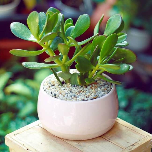 cây ngọc bích có tác dụng tốt cho sức khỏe