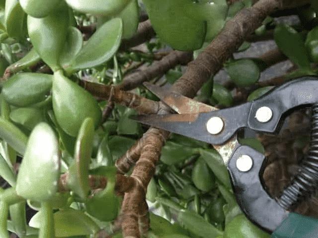 lựa chọn cành cây ngọc bích để cắt