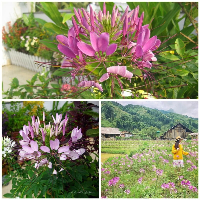cây hoa hồng ri