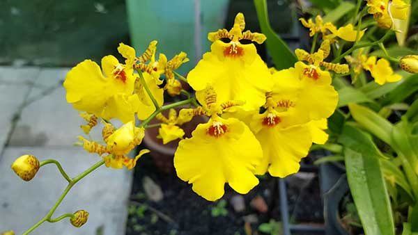 Nếu biết áp dụng đúng kỹ thuật thì hoa sẽ nở nhiều và bền, từ lúc hoa nở đến lúc tàn có thể lên tới 3 tháng