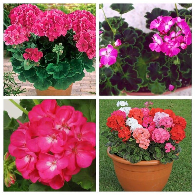 Cách trồng và chăm sóc hoa phong lữ thảo đẹp