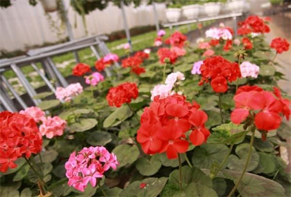 một vẻ đẹp của cay hoa phong lử thảo