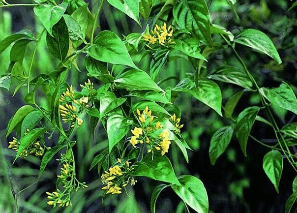 cây lá ngón hoa vàng đang ra hoa