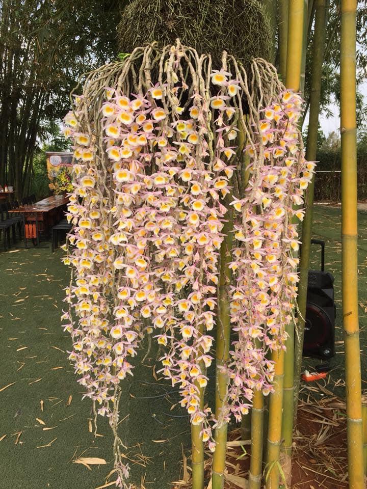 cây hoa lan long tu nở hoa đẹp tuyệt vời