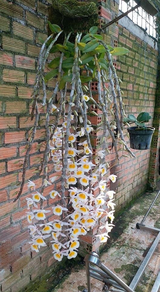lan long tu nở những bông đàu tiên