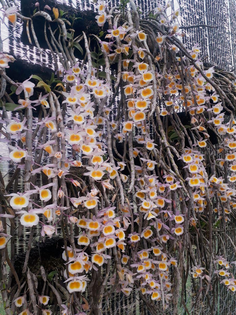 cây lan long tu ghép lên bảng dớn phát triển khỏe mạnh