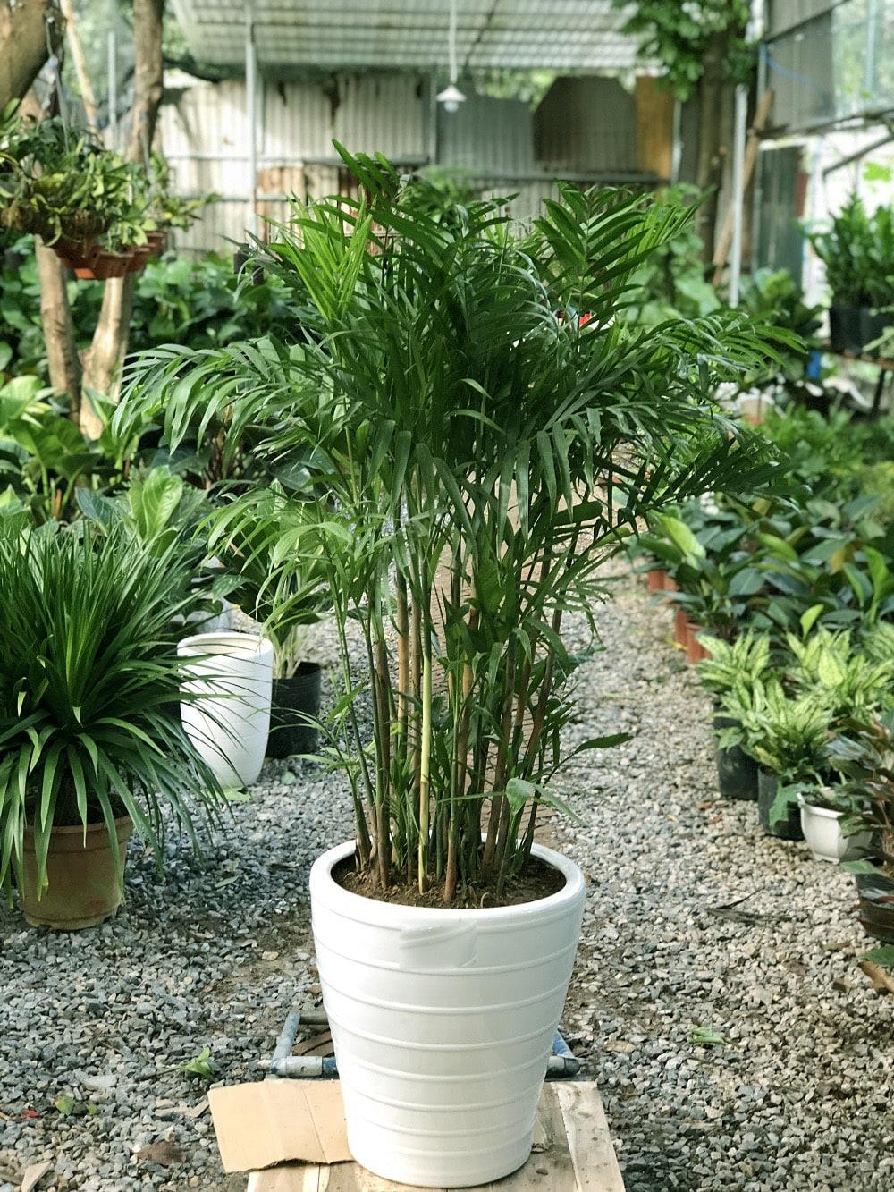 chậu cây hawai  mới trồng