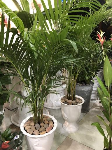những chậu cây cau hawai trồng trong văn phòng làm việc