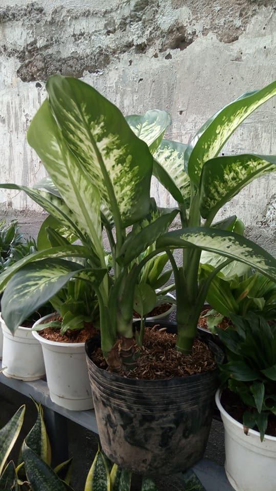 cây lan thanh trồng chậu phát triển