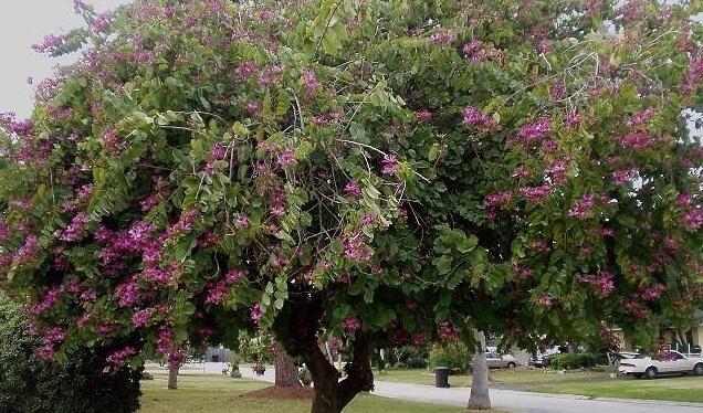 Cây móng bò- cây cảnh chuyên công trình