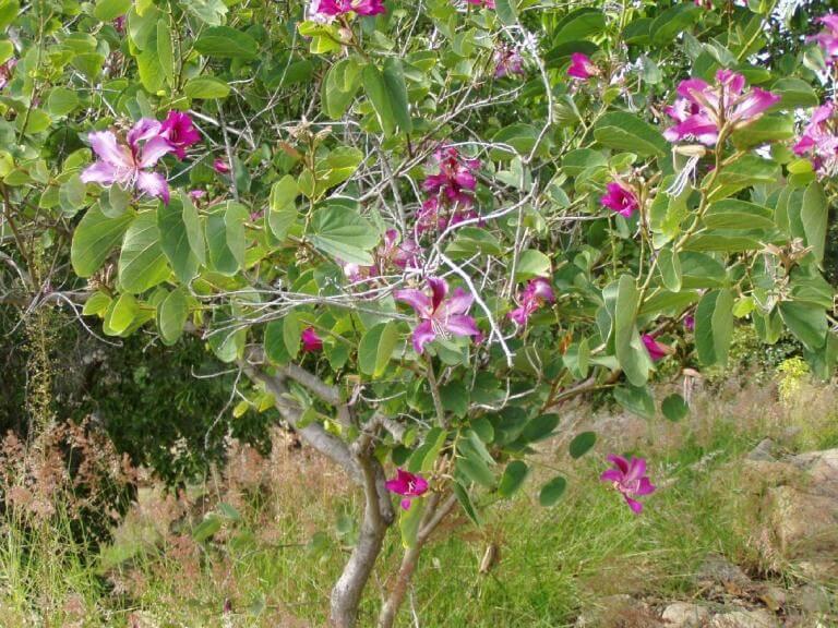 vẻ đẹp của loài cây hoa móng bò