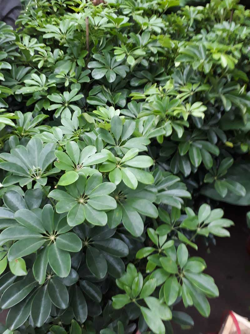 cây ngũ gia bì phát triển xanh tốt