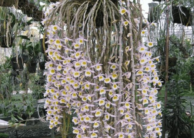Lan long tu là giống hoa lan đẹp và thường nở vào dip Tết Nguyên đán