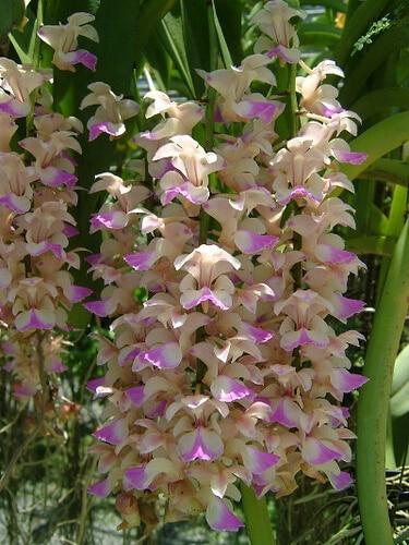 hoa lan giáng hương đẹp ấn tượng