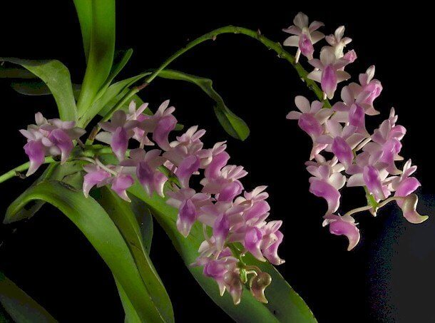 cách trồng lan giáng hương ra hoa