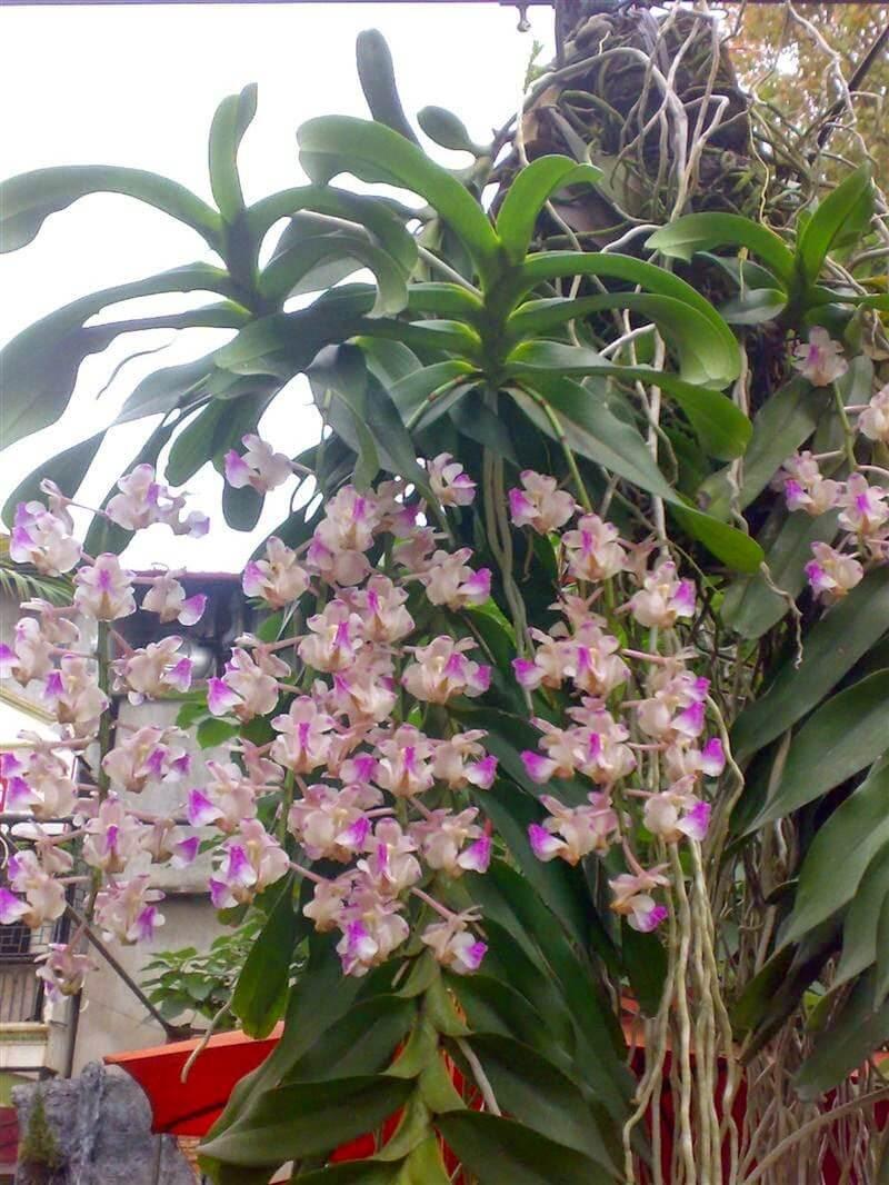 hoa lan giáng hương khoe sắc