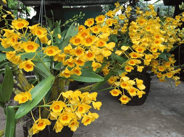 ấn tượng với những bông hoa lan thủy tiên