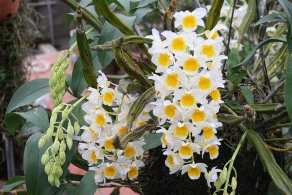 hoa lan thủy tiên nở đẹp nhất