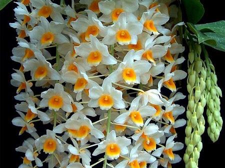 thời gian ra hoa lan thủy tiên