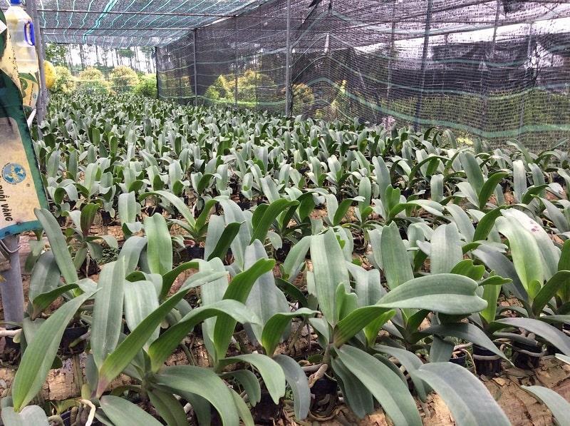 lan đai trâu trồng ghé gỗ