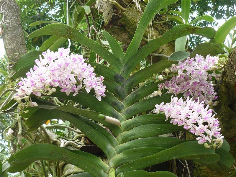 cây lan ngọc điểm ra nhiều hoa