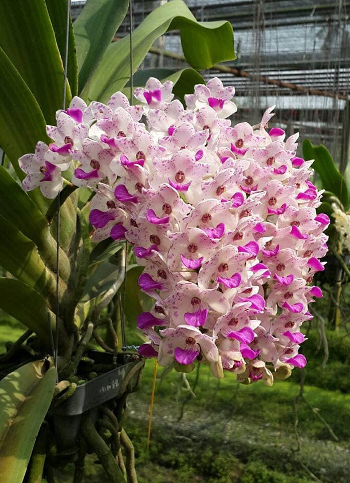 lan đai trâu nở hoa tuyệt vời