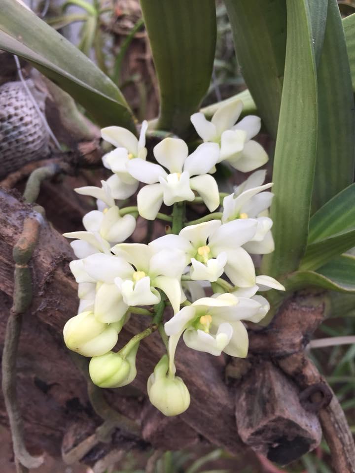 cây lan ngọc điểm rừng ra hoa màu trắng
