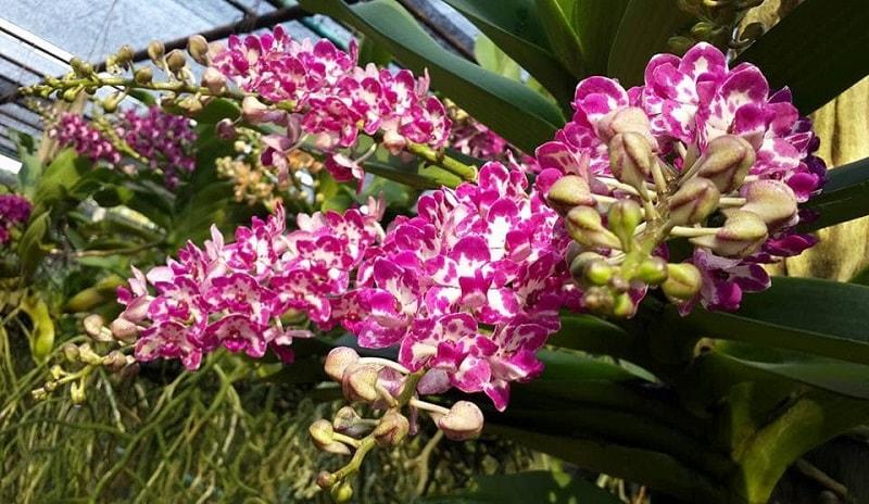 cây hoa lan ngọc điểm rừng ra hoa đẹp