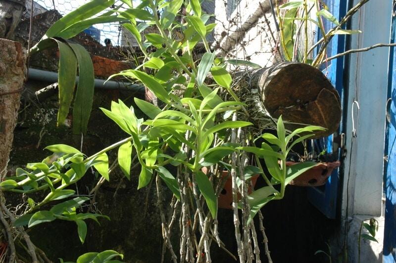 cây lan hạc vỹ mới phát triển