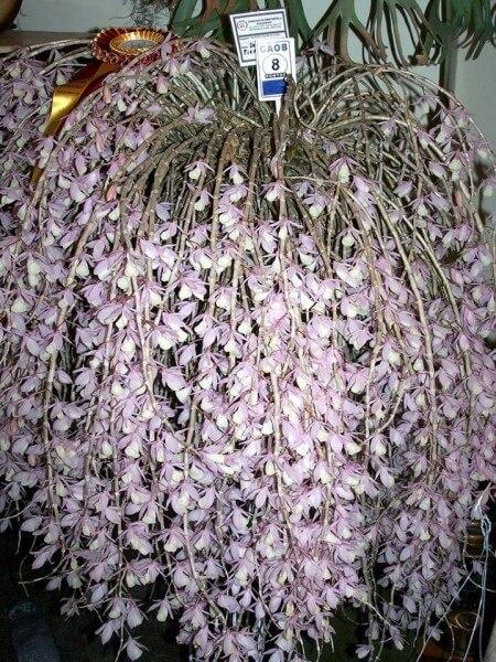 hoa lan hạc vỹ nở tuyệt vời