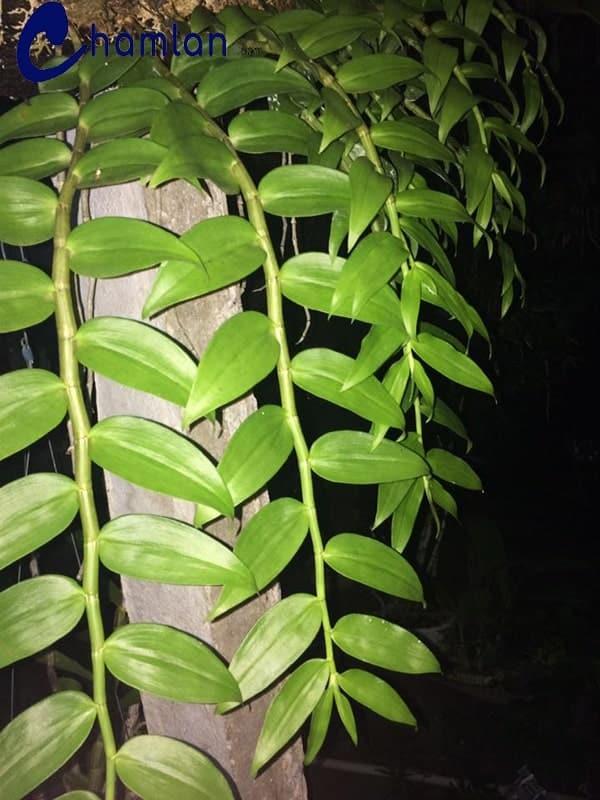 cây lan hạc vỹ đang phát triển mạnh