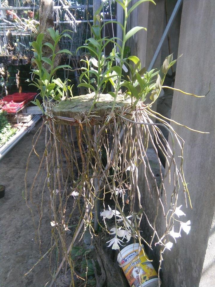 cây lan học vỹ phát triển tốt khi ghép với gỗ