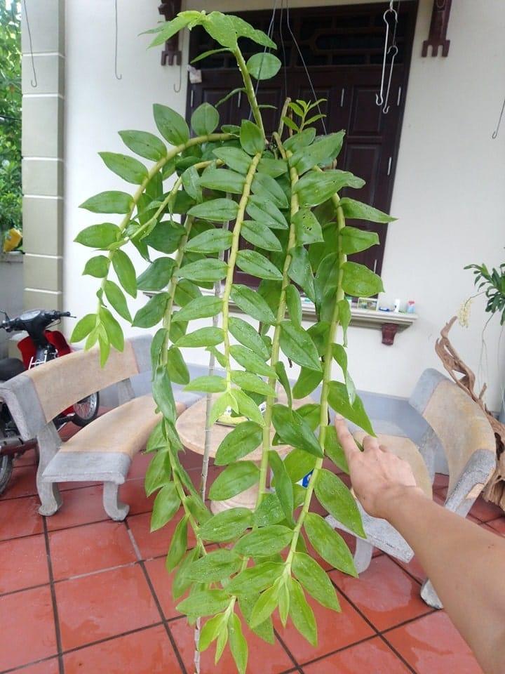 cây lan hạc vũ được 2 năm tuổi