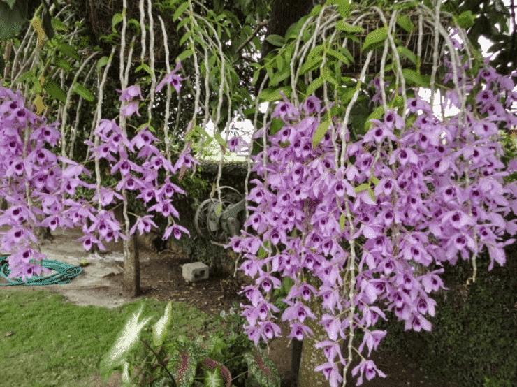 Lan hạc vỹ tím đẹp ra nhiều bông rất đẹp
